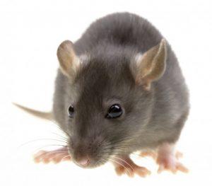 rato-cinza1